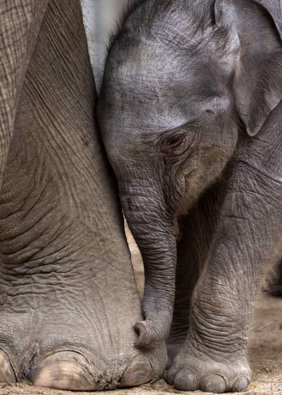 Naissance de Jack l'éléphanteau au parc de loisirs du Pal