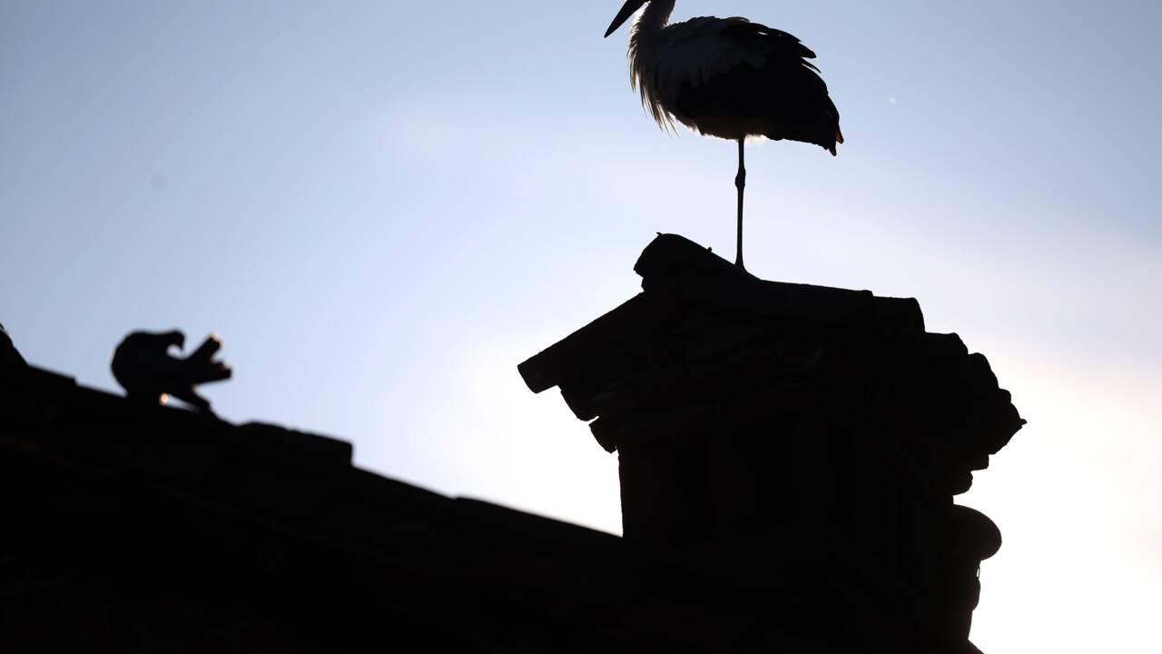 Un village tchèque à la rescousse de cigogneaux et de leur père