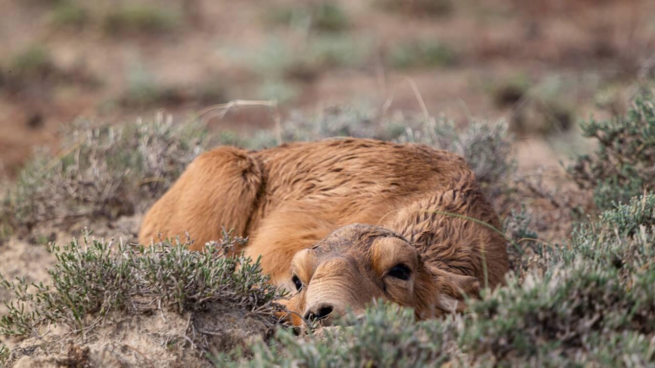 Kazakhstan : après avoir frôlé l'extinction, l'antilope saïga a vu sa population plus que doubler en deux ans