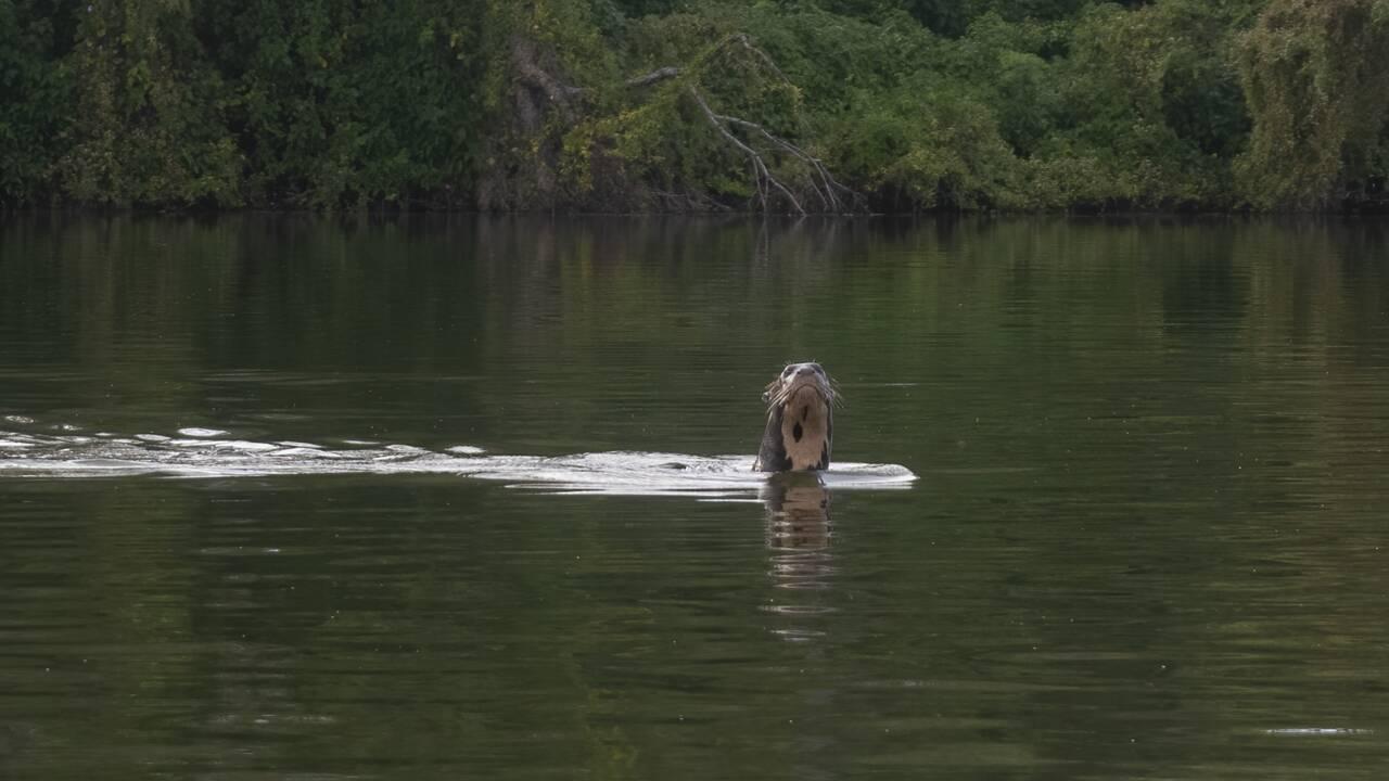 Une loutre géante considérée éteinte en Argentine réapparait 30 ans après