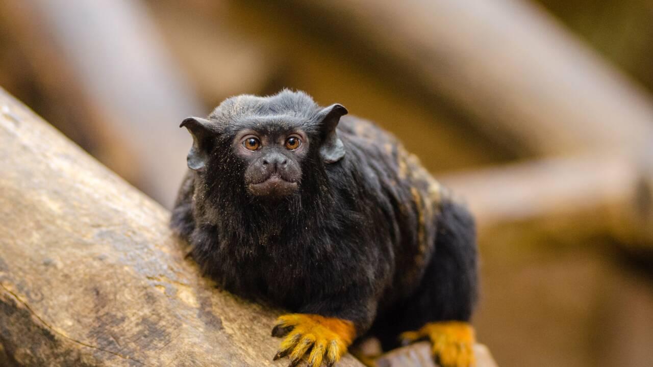 Le singe tamarin modifie son accent lorsqu'il change de territoire pour éviter les conflits
