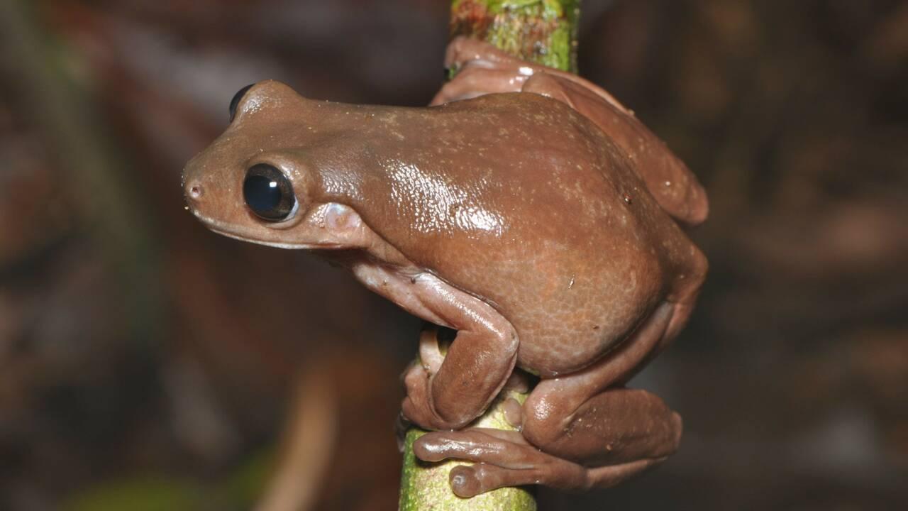 """Une espèce inconnue de """"grenouille chocolat"""" identifiée en Nouvelle-Guinée"""