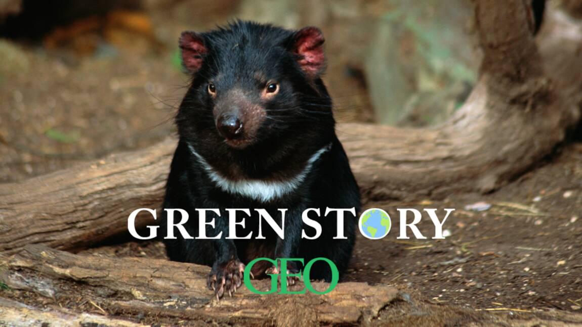 Green Story : des diables de Tasmanie naissent en Australie, une première depuis 3 000 ans