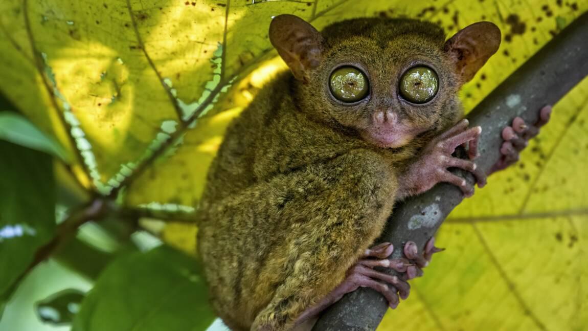 Le tarsier des Philippines, un minuscule primate au faux air de gremlin