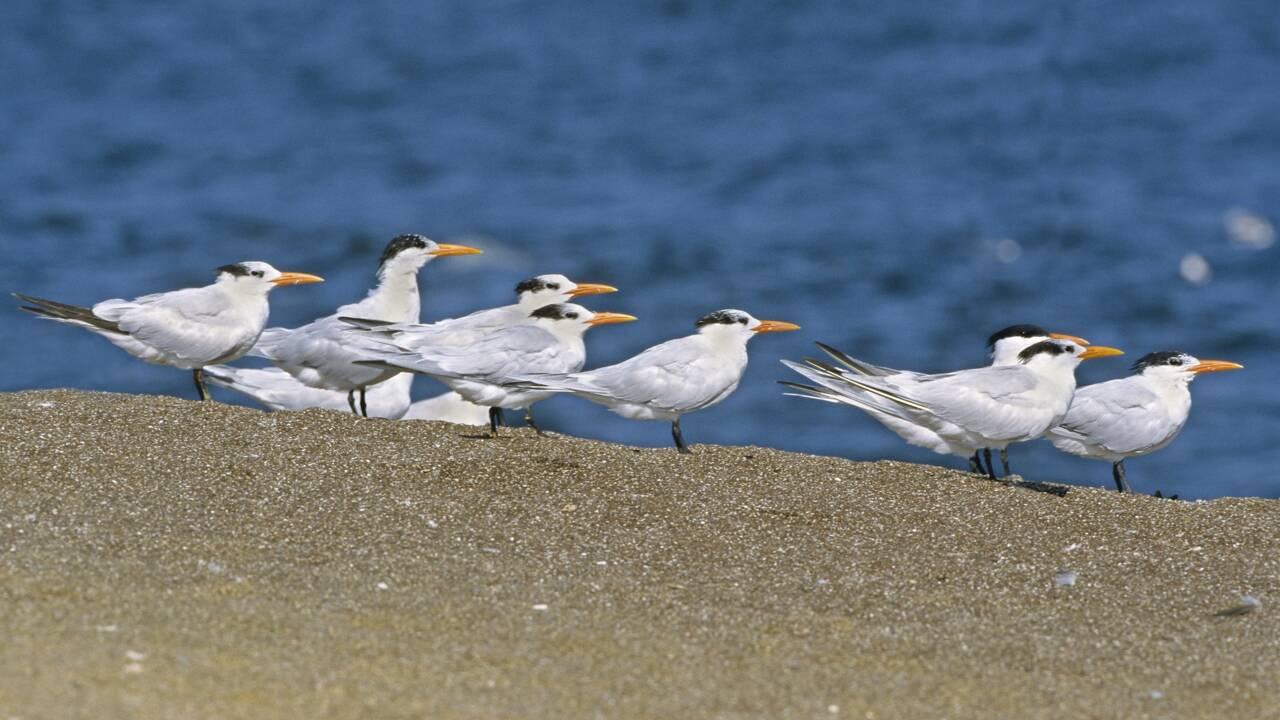 Crash d'un drone illégal en Californie : des milliers d'oiseaux abandonnent leurs oeufs en catastrophe