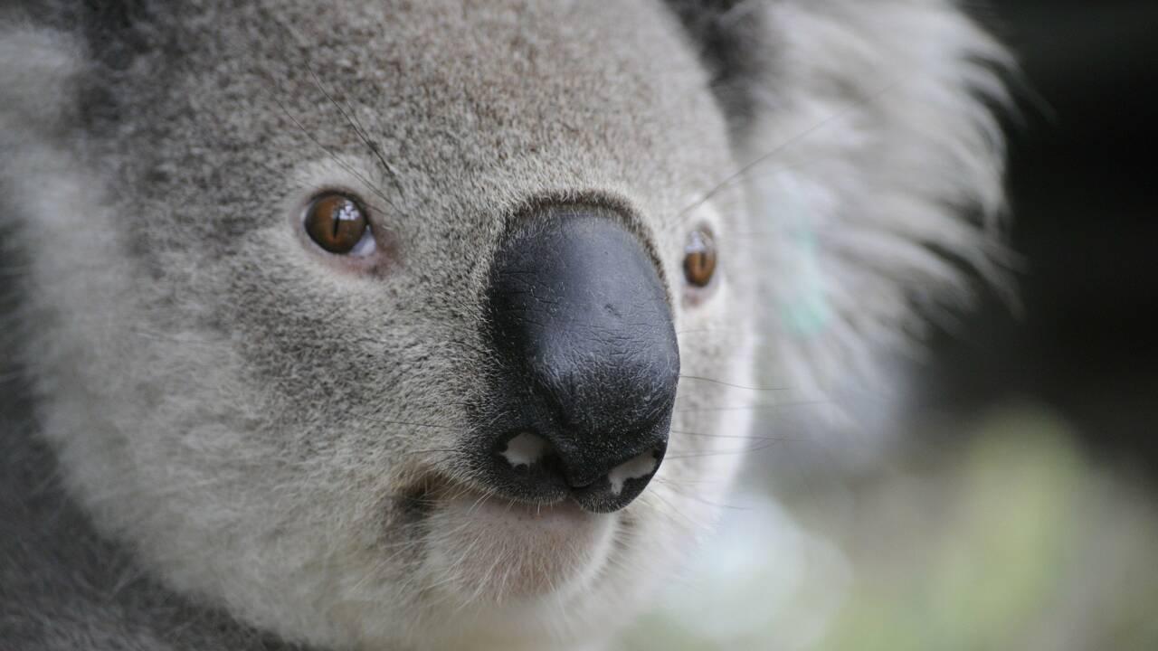 """Australie : des scientifiques vont tester la """"reconnaissance faciale"""" pour observer les koalas"""