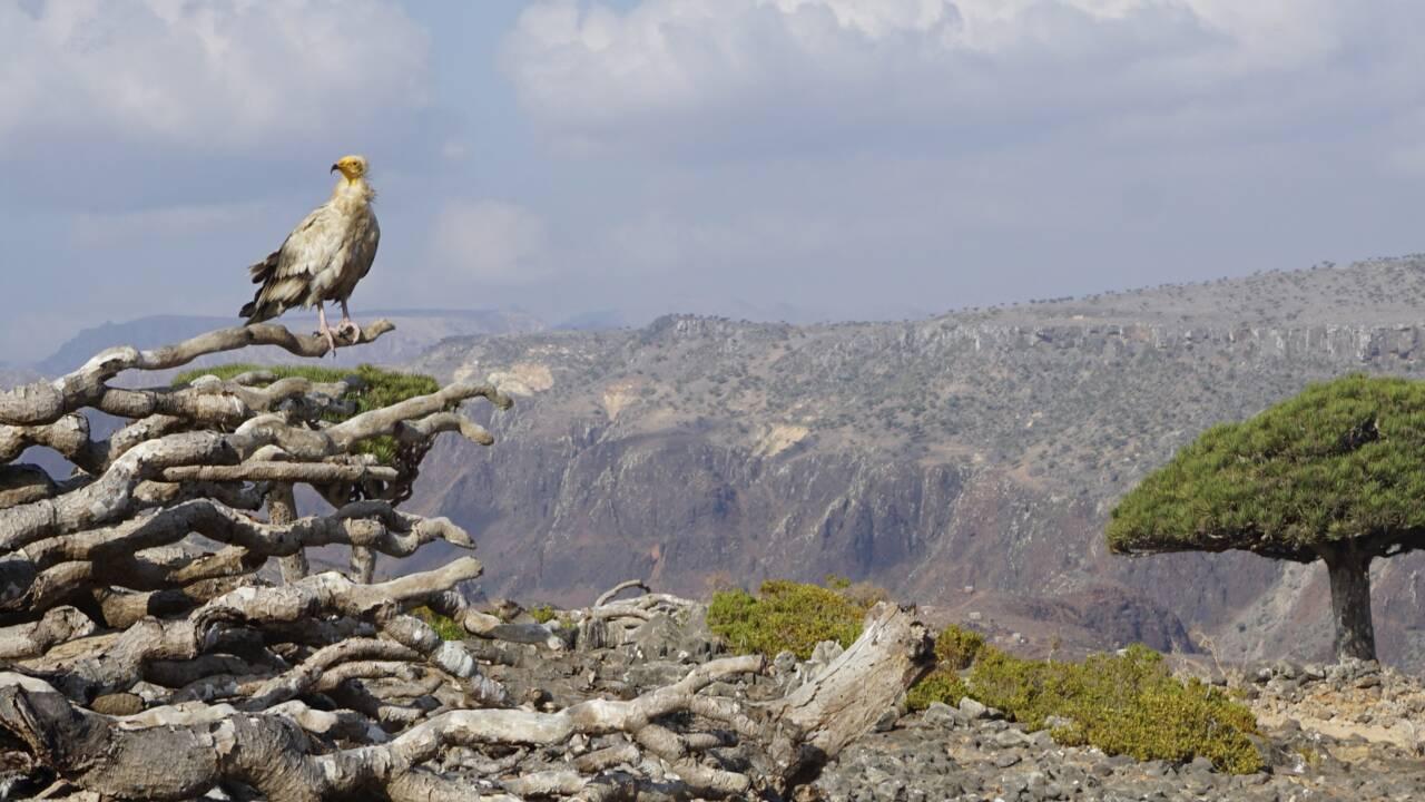 Au Yémen, l'exceptionnel biodiversité de l'archipel de Socotra en danger