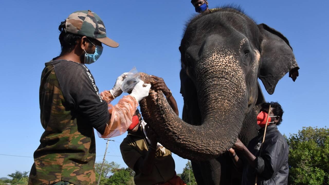 Inde : 28 éléphants dépistés après la mort d'une lionne imputée au coronavirus