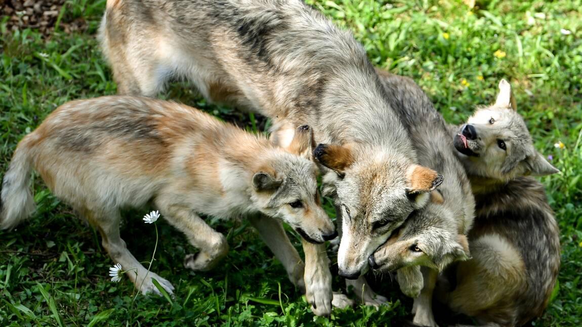 Pour la première fois en 80 ans, des loups sont nés dans le Colorado