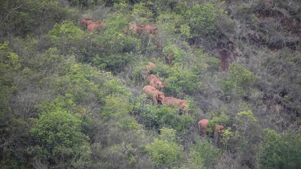 Périple d'éléphants en Chine: le retardataire renvoyé dans sa réserve