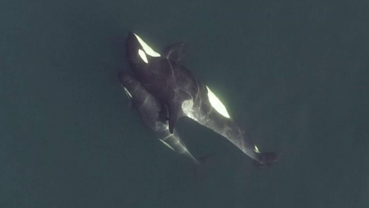 Des chercheurs éclairent la vie sociale complexe des orques grâce à des drones