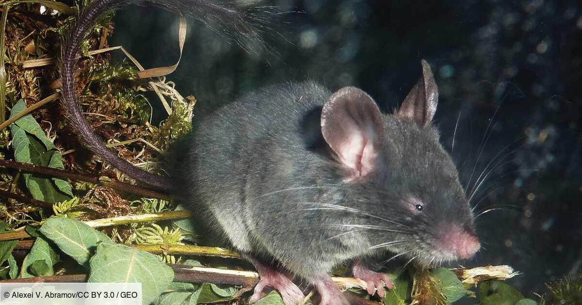 Le loir pygmée, ce rongeur quasi aveugle qui voit avec... ses oreilles