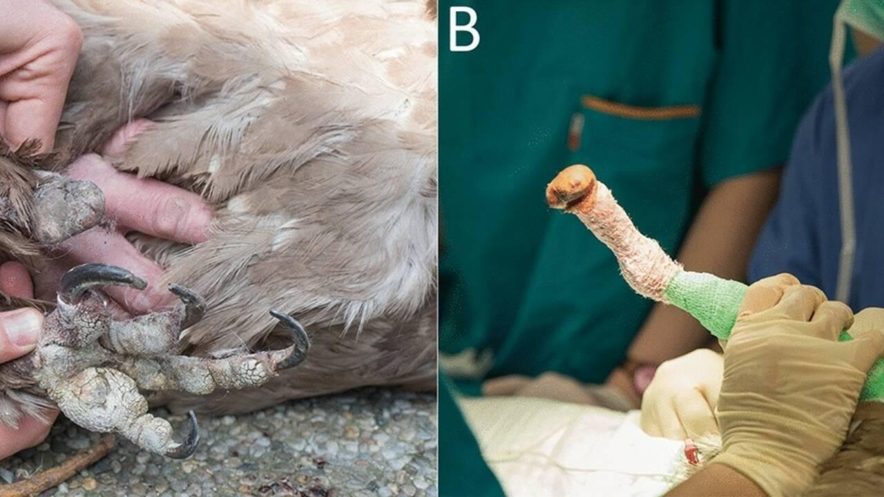 Mia, le premier vautour sauvé grâce à une prothèse bionique