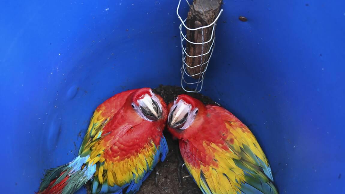 Au Honduras, un projet pour protéger l'ara rouge, l'oiseau national