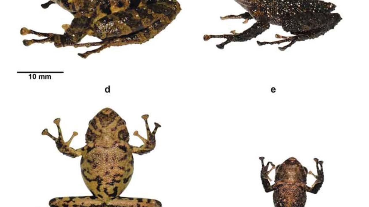 Une nouvelle grenouille identifiée en Equateur nommée en hommage à Led Zeppelin