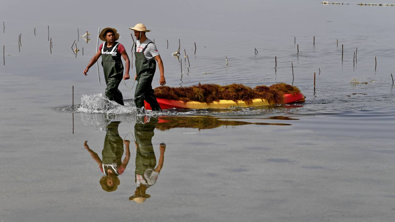 """La Tunisie, """"pionnière"""" de la culture des algues rouges en Méditerranée"""