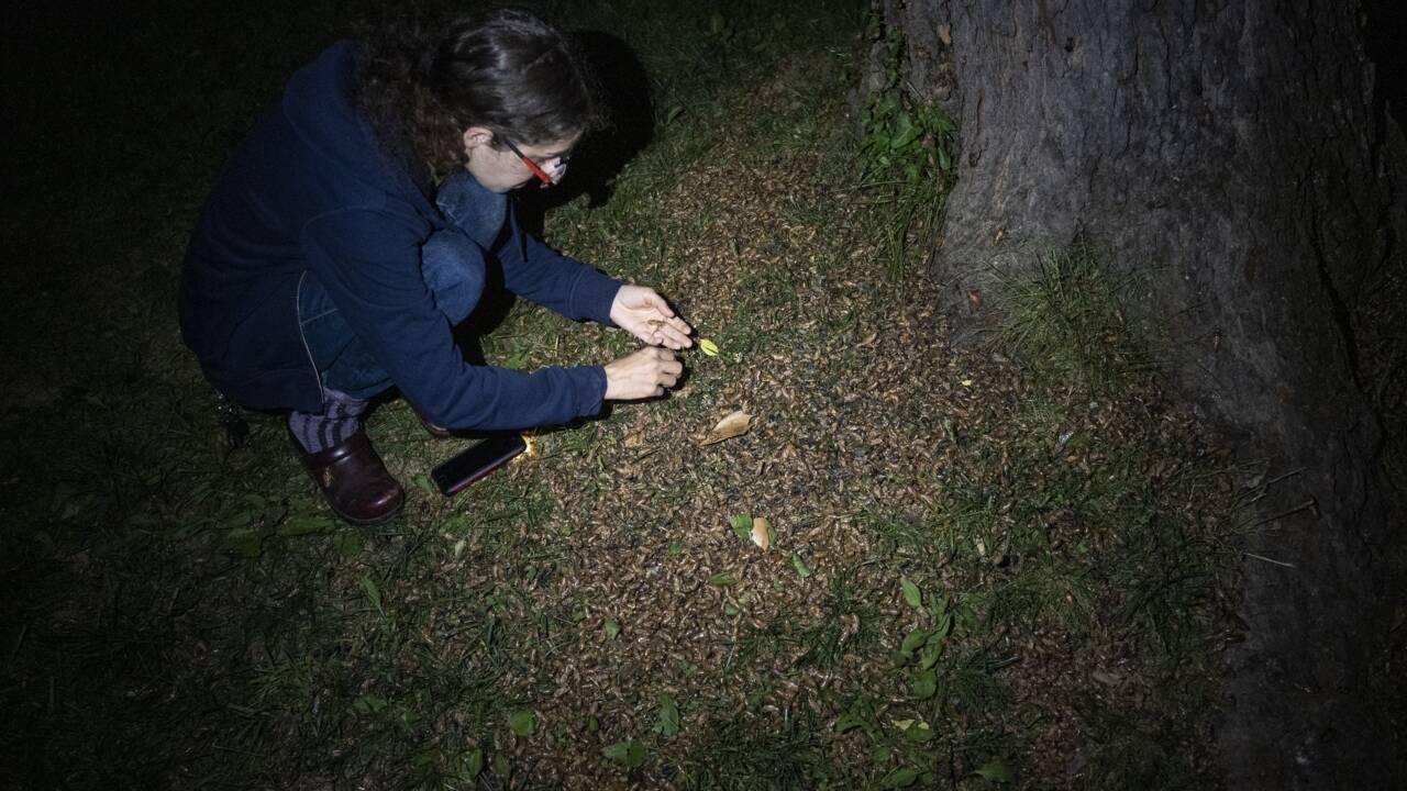 A dans 17 ans: la très particulière saison des cigales s'achève aux Etats-Unis