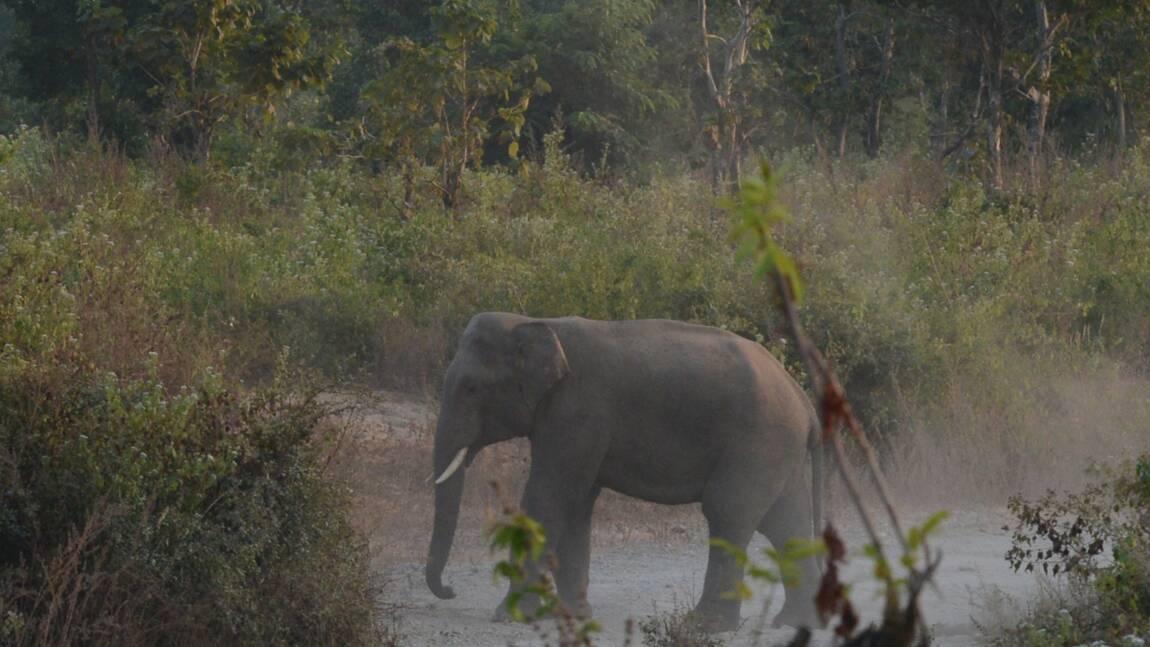 """Inde : un éléphant """"voyou"""" a tué 16 personnes ces deux derniers mois"""