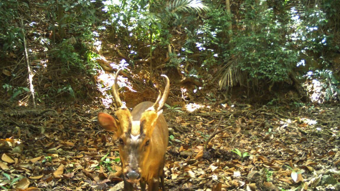 Cambodge : une espèce rare et menacée de cerf repérée pour la première fois