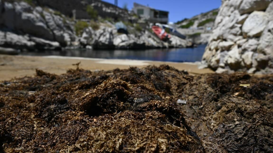 Une algue japonaise invasive colonise les Calanques de Marseille