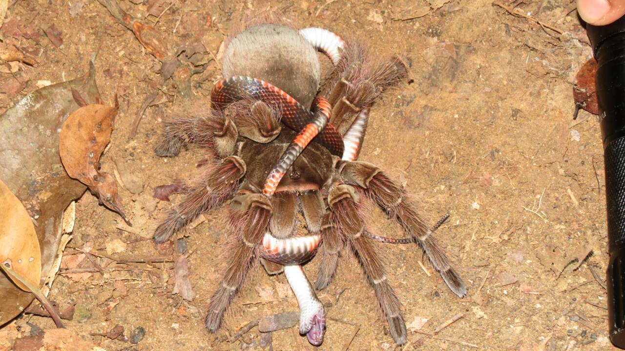 Les araignées, de redoutables prédateurs qui peuvent aussi tuer et manger des serpents