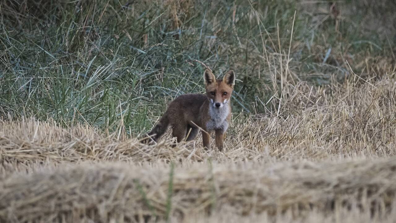 Un arrêté pour réguler la population de renards annulé en Seine-Maritime
