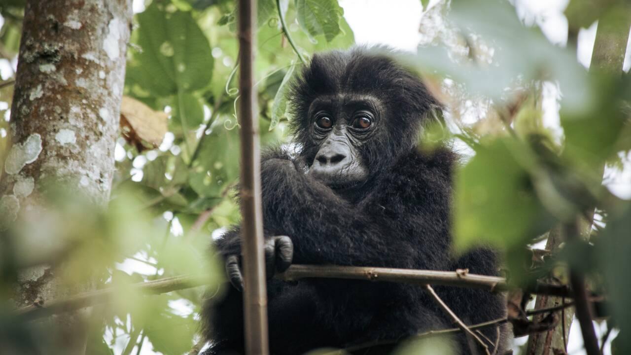 Un bébé gorille né en milieu naturel de deux parents réintroduits au Gabon