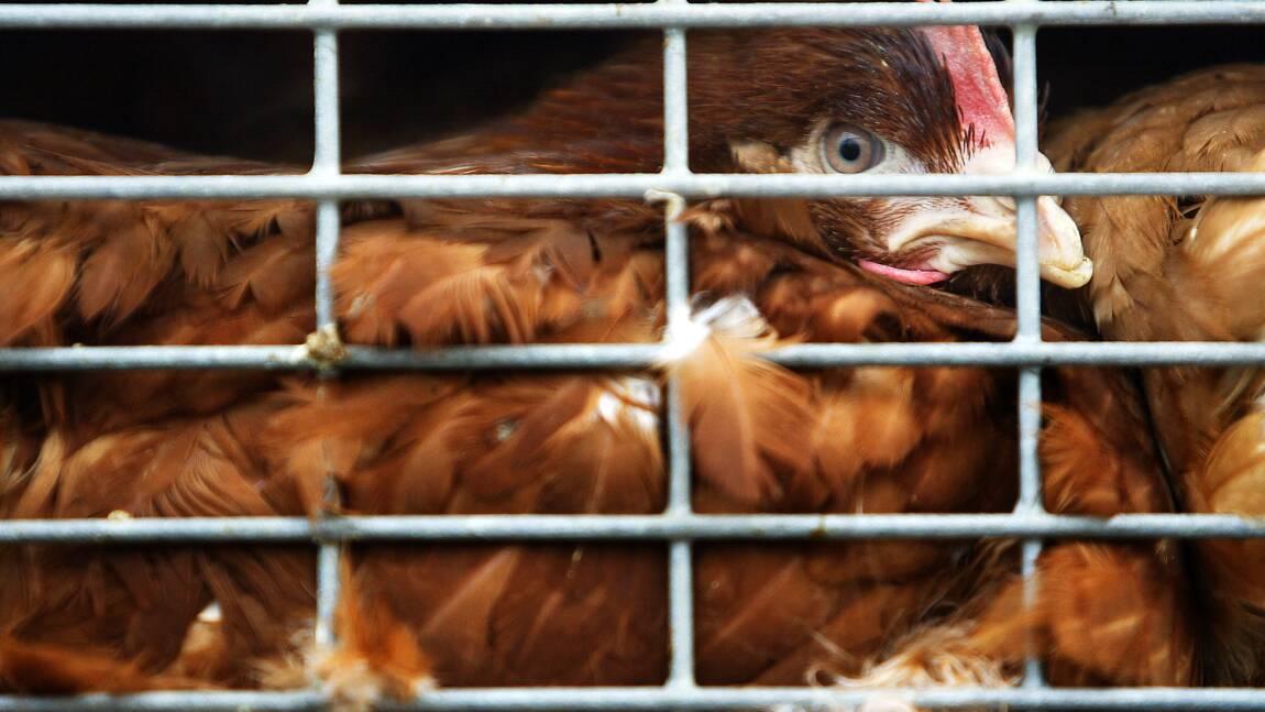 Bien-être animal : Bruxelles proposera d'ici à 2023 d'interdire l'élevage en cage