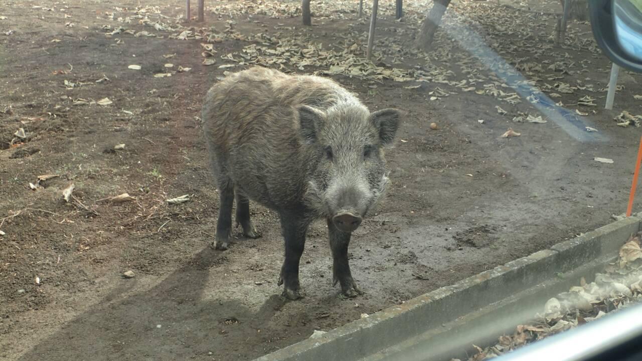 Dans les zones abandonnées de Fukushima, les sangliers prospèrent et s'hybrident avec des cochons
