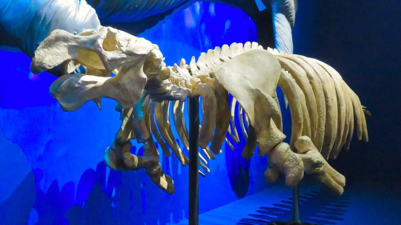Le massacre des rhytines, ou la première prise de conscience de l'impact de l'homme sur la disparition des espèces