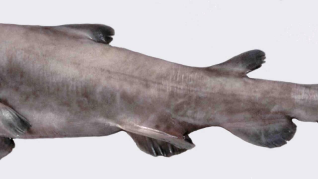 """Le requin-lutin, ce prédateur qui """"lance"""" ses mâchoires pour capturer ses proies"""