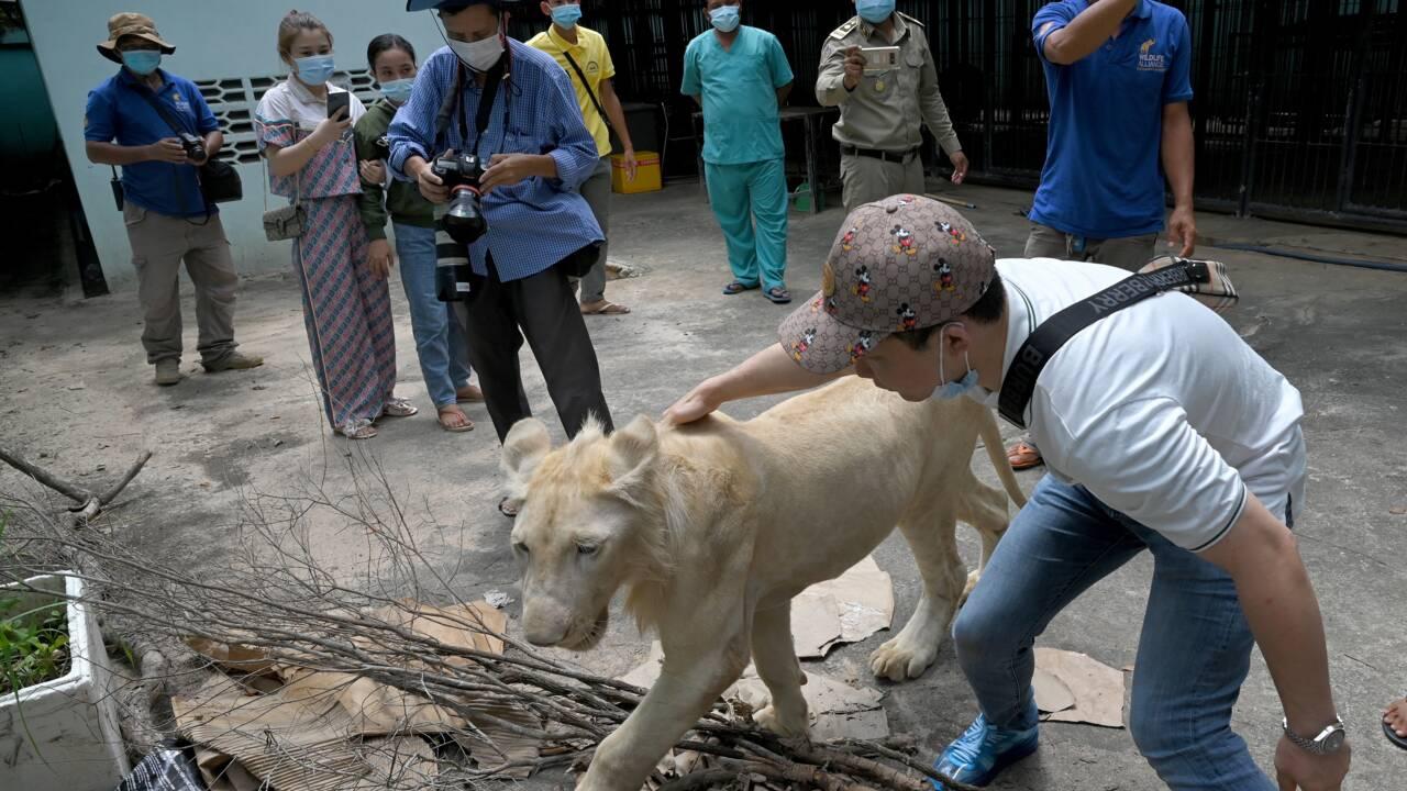 Cambodge: un lion utilisé comme animal de compagnie confisqué puis rendu à son propriétaire
