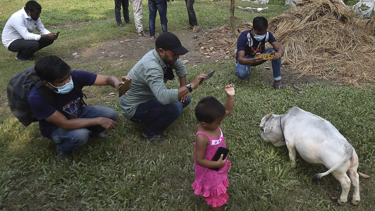"""Haute de 51 cm, """"la plus petite vache du monde"""" attire les foules au Bangladesh"""