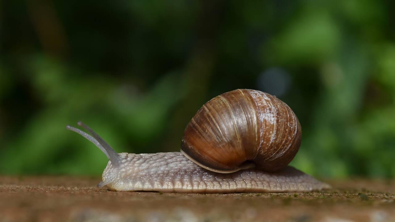 Escargots, moules d'eau douce... En France, certains mollusques sont en danger