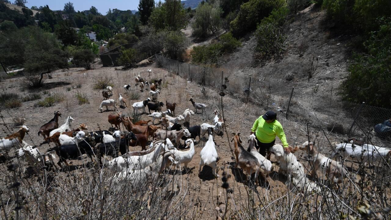 Des chèvres, improbables alliées des pompiers en Californie