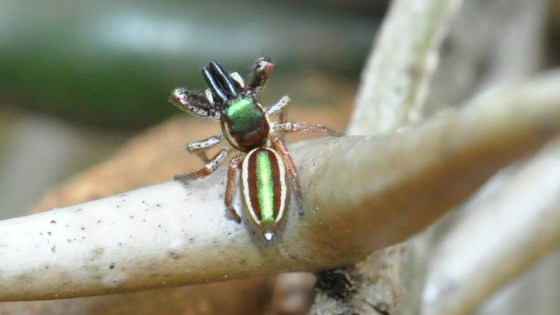 Cette araignée américaine est la seule connue pour être (quasi) végétarienne