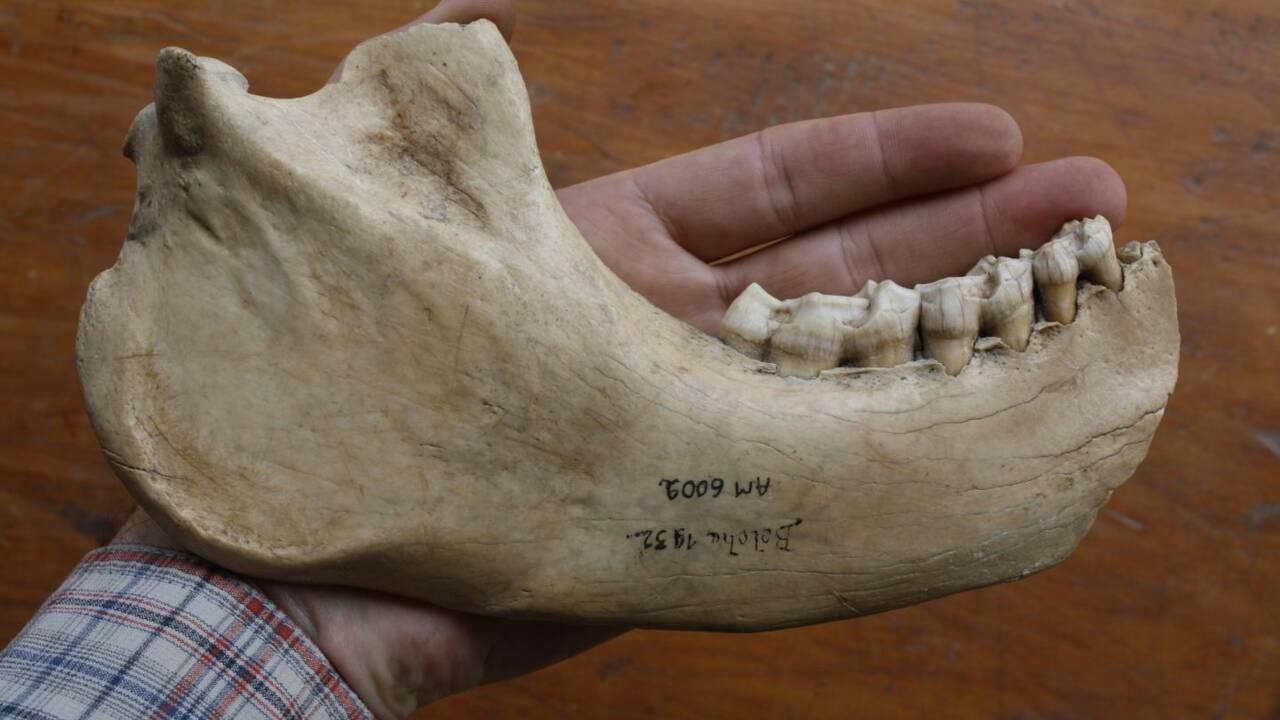 Des scientifiques décryptent le génome d'un lémurien de 1500 ans aussi grand qu'un gorille