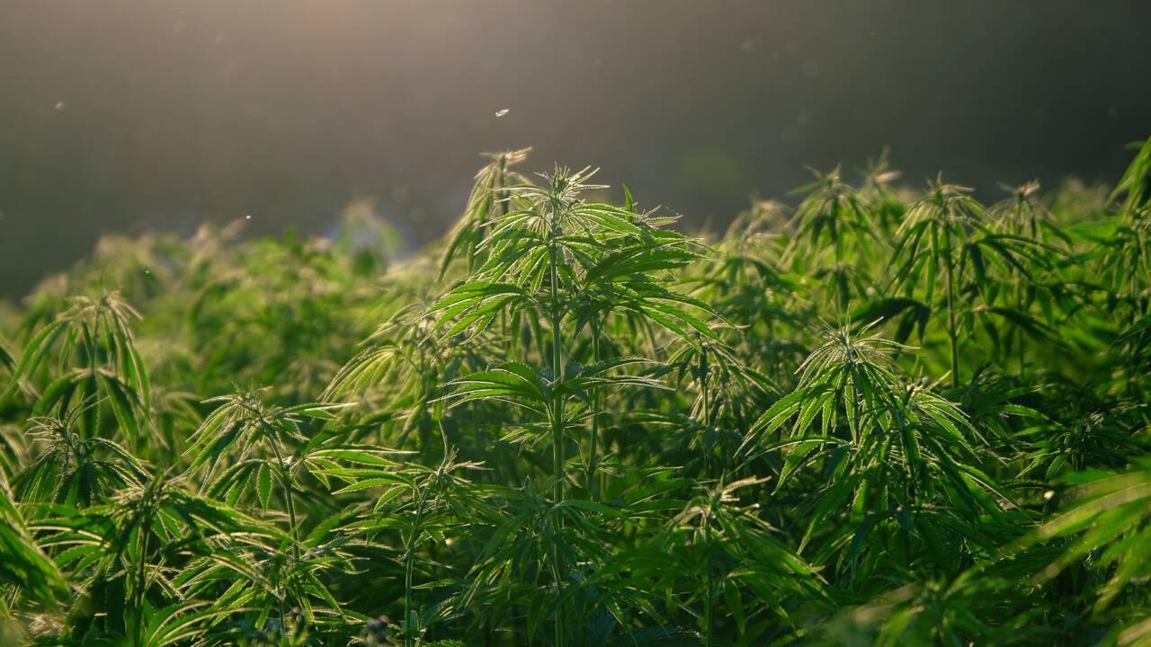 Le cannabis aurait été domestiqué pour la première fois il y a 12000 ans en Chine