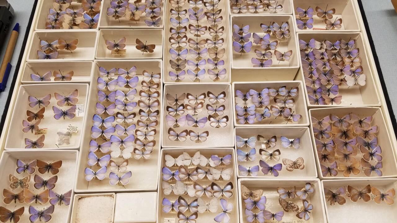 L'ADN confirme le premier cas d'extinction d'un papillon causé par l'humain aux Etats-Unis