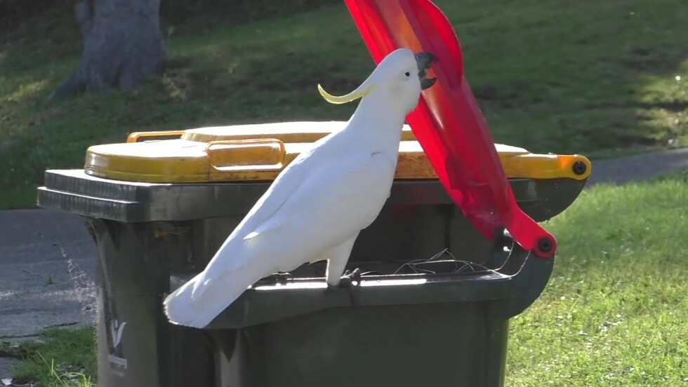 A Sydney, les cacatoès apprennent à ouvrir les poubelles en se copiant les uns les autres