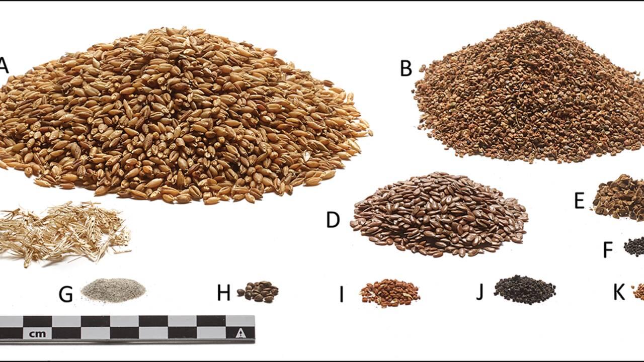 Des analyses révèlent le dernier repas de l'homme de Tollund pendu il y a 2400 ans