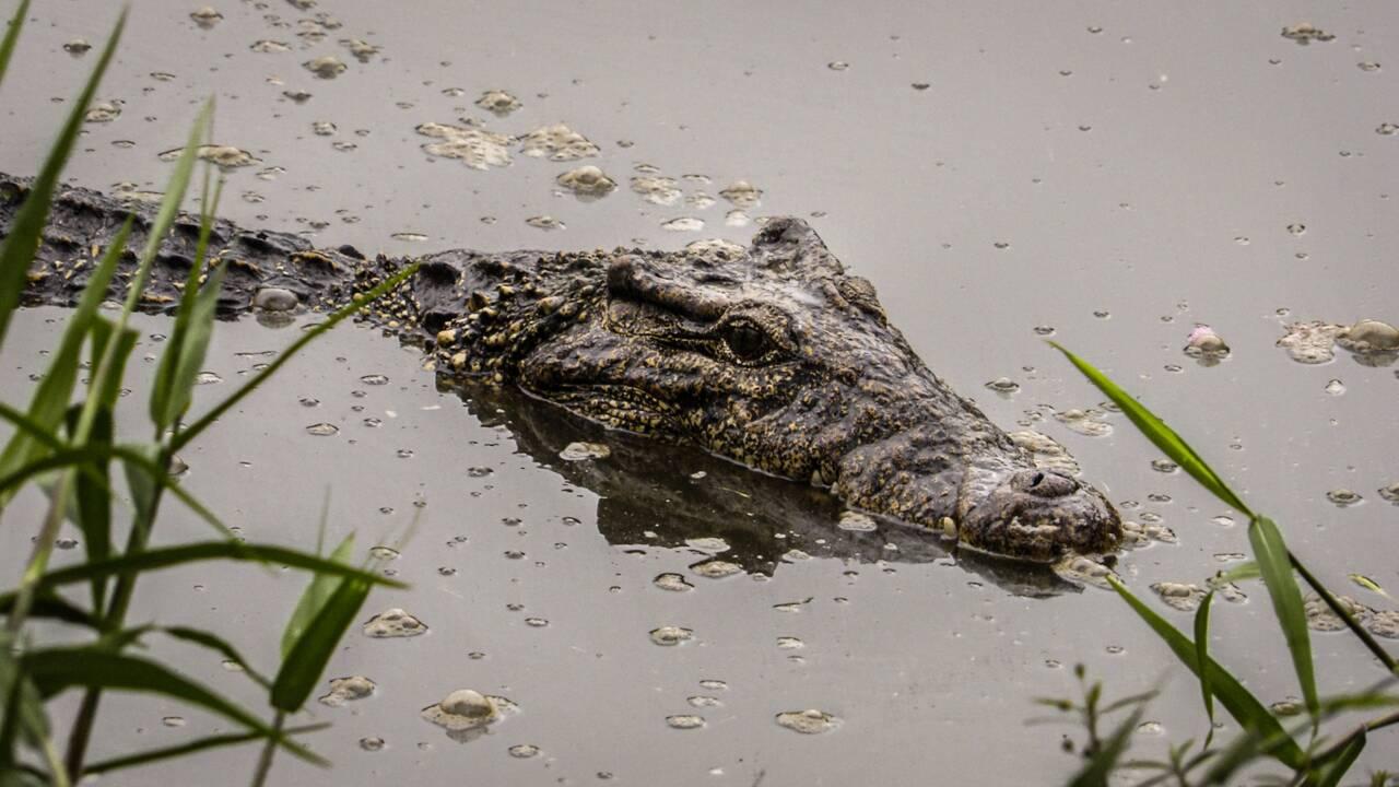 """Le crocodile cubain menacé d'hybridation car """"un peu trop courtisé"""" par son cousin américain"""