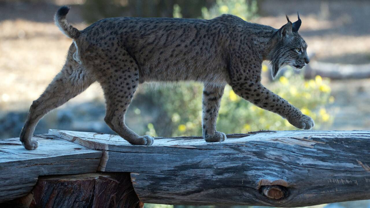 En Espagne, le lynx sauvé de l'extinction par un programme d'élevage en captivité