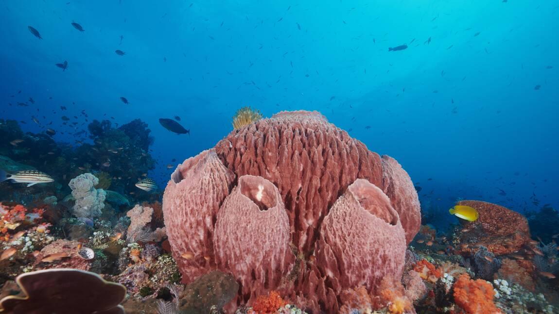 La plus vieille forme de vie animale pourrait être une structure d'éponge