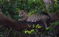 Brasil: en el corazón del Pantanal, último santuario de jaguares