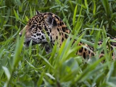 Au cœur du Pantanal brésilien, dernier sanctuaire des jaguars