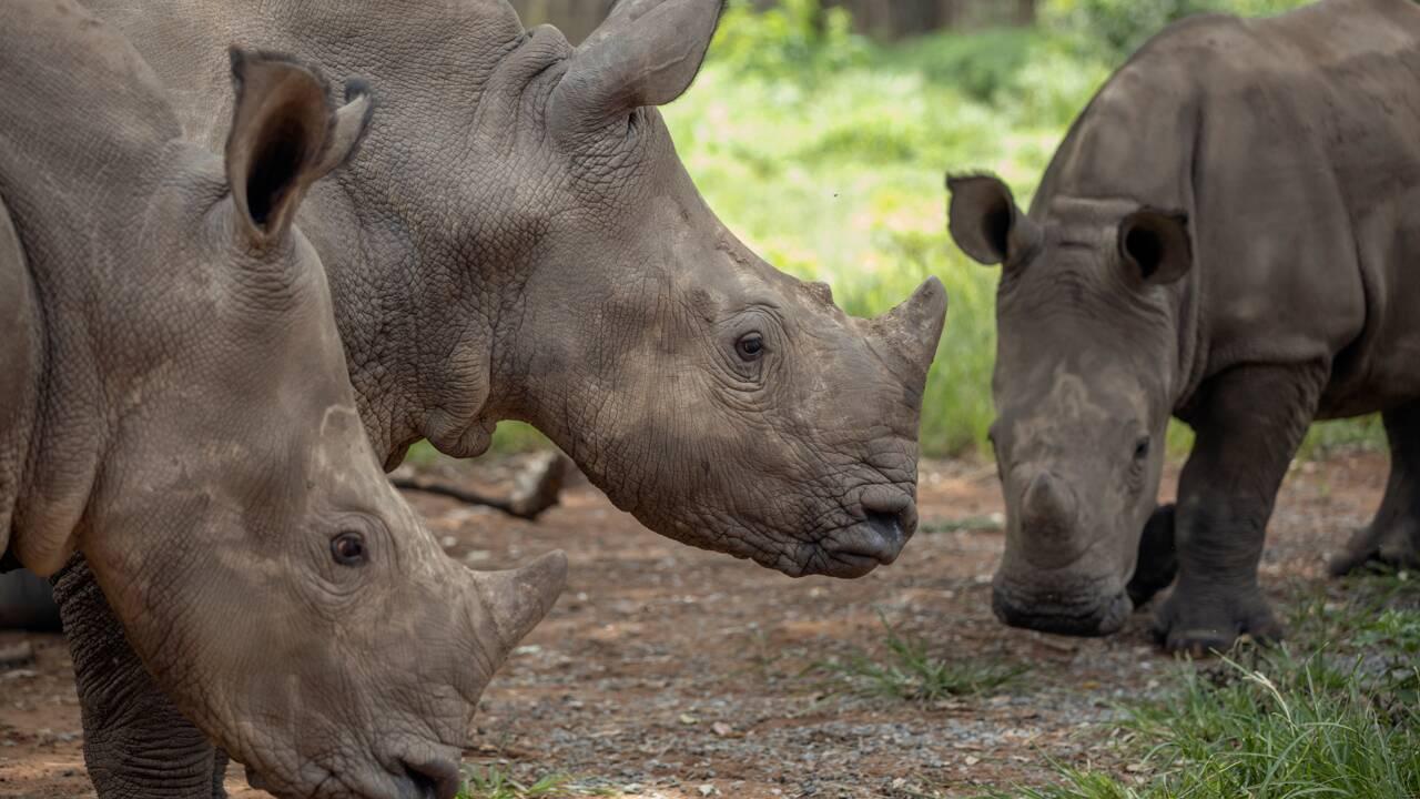 Douze embryons créés pour sauver le rhinocéros blanc du Nord