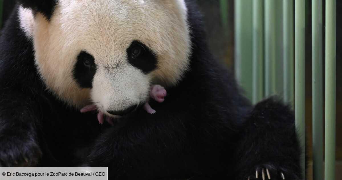 La femelle panda Huan Huan a donné naissance à des jumeaux