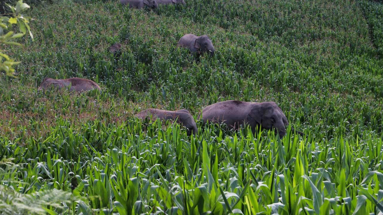 Chine : la routine des zoologues qui accompagnent les éléphants vadrouilleurs depuis plusieurs mois