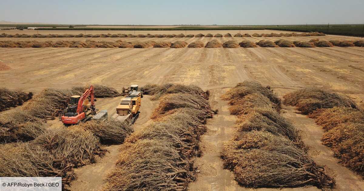 Ravagée par la sécheresse, la Californie arrache ses précieux amandiers